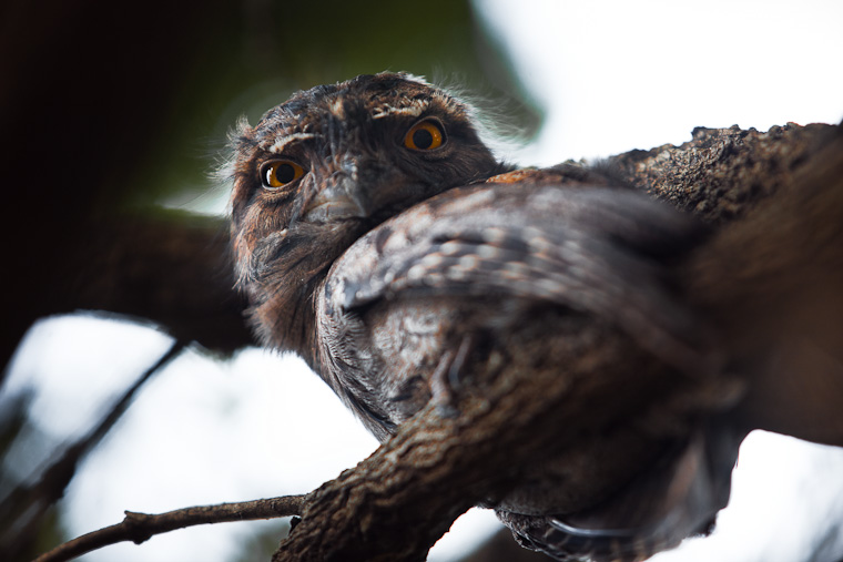 Tawny Frog Mouth bird. Family of Tawny Frog Mouth birds in a tree.